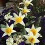 Tulipa kaufmanniana 'Johan Strauss' (Tulipa kaufmanniana (Water-Lily Tulip))