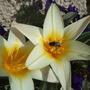 Tulipa kaufmanniana 'Johan Strauss' (Tulipa kaufmanniana 'Johan Strauss')