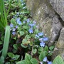 Omphalodes verna