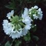 Primula denticulata 'Alba' (Primula denticulata (Drumstick primula))