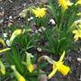 Narcissus Linifolia (Narcissus Linifolia)