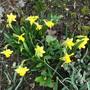 Tete e Tete (Narcissus)