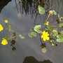 Caltha palustris  water buttercup flowers (Caltha Polypetala ( Giant Marsh marigold)