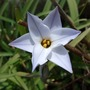 Ipheion uniflorum (Ipheion uniflorum (Ipheion))