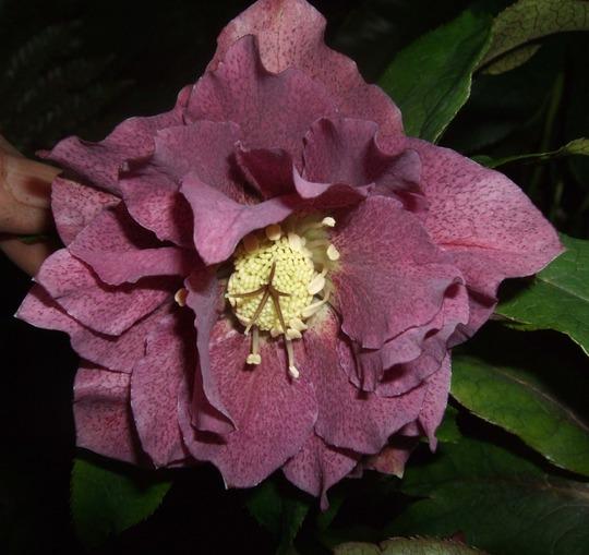 Helleborus x hybridus 'Double Queen' (Helleborus x hybridus)