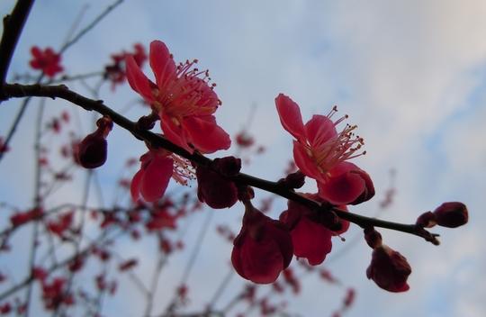 Japanese_Acer_reduced.jpg