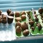Bild0016_seed_potatoes