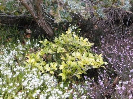 37.  Osmanthus Heterophyllus (Osmanthus heterophyllus (Chinese Holly))
