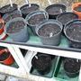 "38. Bare rooted Phlox and Heuchera Caramel potted up (Phlox Paniculata (5 x Europa) (5 x Picasso) & (10 x mixed) also Heuchera ""Caramel"" x 3)"