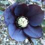 Helleborus '  Blue Lady '