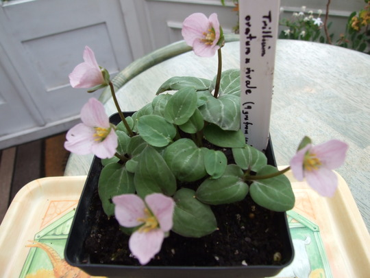 Trillium ovatum x rivale (Trillium ovatum x rivale)