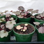 Heuchera_seedlings