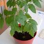 Rebeccas_tomato_plant