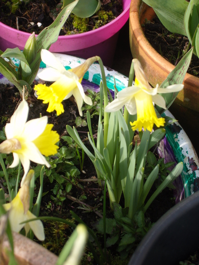 Daffs on the patio