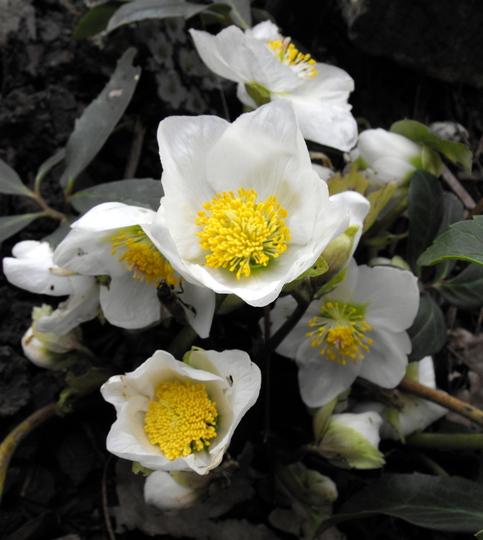 Hellebore Flowers Openeing