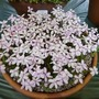 Rhodohypoxisbauriiappleblossom