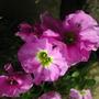 Double_pink_aubrieta