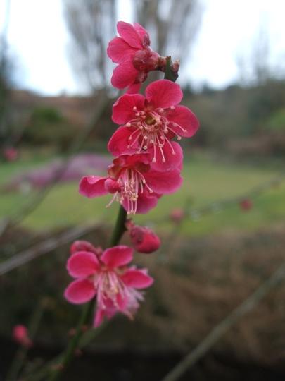 Prunus mume 'Beni-chidori' (Prunus mume)