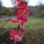 Prunus_mume_ben_chidori_
