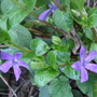 Vinca major (Vinca major (Turu Nitiniti So))