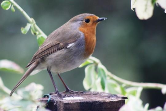 My Robin....