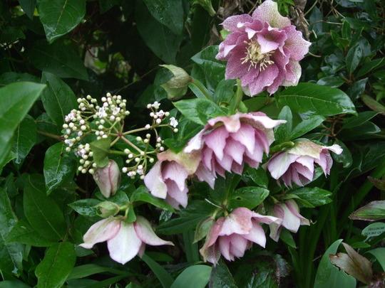 Hellebore plant (Helleborus x hybridus)