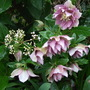Hellebore plant (Helleborus x hybridus)