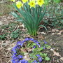 Daffs_and_primulas_2010