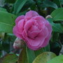 Camellia_pink_2010