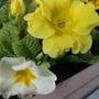Yellow and White Primula