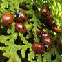 Lady birds 