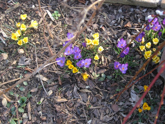 Spring is definately on our doorstep (Crocus sativus (Saffron Crocus))
