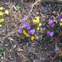 Spring is definately on our doorstep (Crocus sativus (Saffron Crocus))