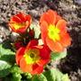 red polyanthus (Primula polyanthus (Primrose))