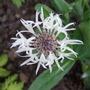 Centaurea_montana_alba_