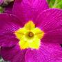 Magenta polyanthus (Primula polyanthus (Primrose))