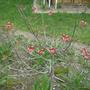 Red Dogwood - April 2008