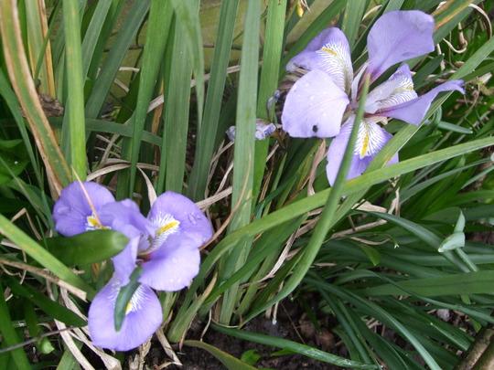 Twins! (Iris unguicularis (Iris))