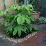 New Fatsia 24.3.10 (Fatsia japonica (Japanese aralia))