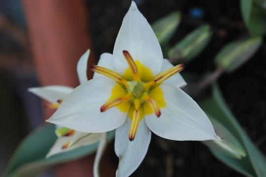 Turkestanica Tulip....... (Tulip turkestanica)