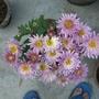 pink single petal chrysanthemum