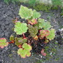 Thought I would give you a Rhubarb update, taken today 24th March