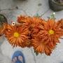 brown chrysanthemum
