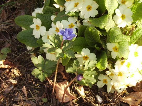 Anemone Blanda & Primula 23.04.08 (Anemone blanda)