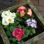 primroses, or primulas, is there a difference