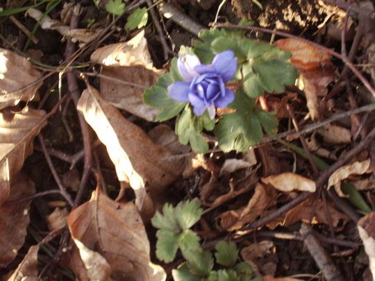 Blue Anemone De Caen 04.08 (Anemone coronaria)