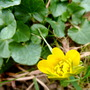 Caltha palustris (Marsh Marigold) (Caltha palustris)