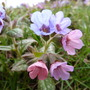 Pulmonaria (Lungwort) (Pulmonaria officinalis)