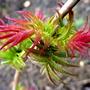Sorbaria Sorbifolia 'Sem'  (Sorbaria Sem)