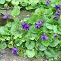 Violets_rampant